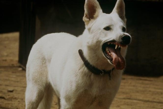 Oeuvre: Fuller: White Dog